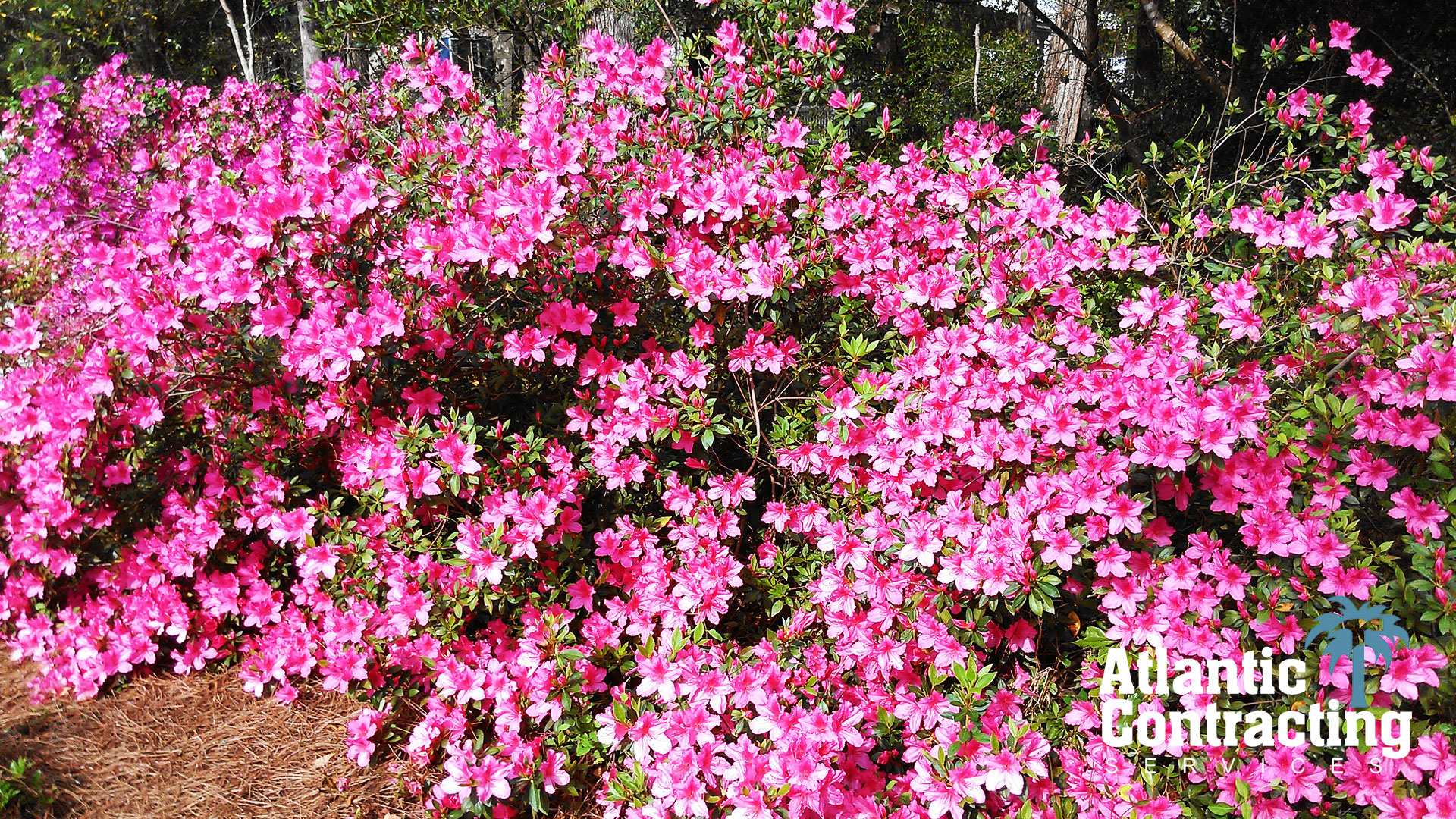 Azaleas in April - Myrtle Beach